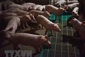 Dịch tả lợn châu Phi gia tăng ở miền Nam Trung Quốc