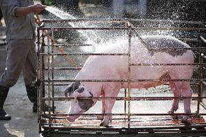 Giá heo (lợn) hơi hôm nay 27/12: Miền Bắc có nơi tăng 2.000 đồng/kg