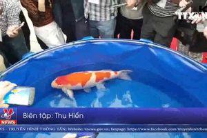 Ngắm chú cá Koi đắt nhất thế giới