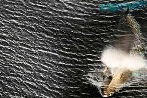 Bất chấp chỉ trích, Nhật Bản 'lặng lẽ' tái khởi động đánh bắt cá voi thương mại