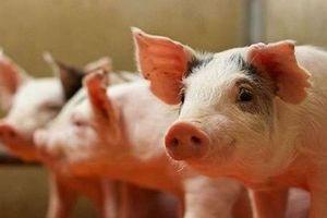 Giá heo (lợn) hơi hôm nay 30/12: Dịch lở mồm long móng khiến giá heo biến động
