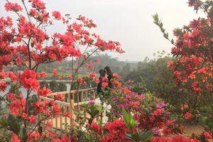 Có một điểm đến cực hot đầy rực rỡ đang chờ bạn ở Vĩnh Phúc dịp Tết này mang tên 'Vương quốc hoa đỗ quyên'