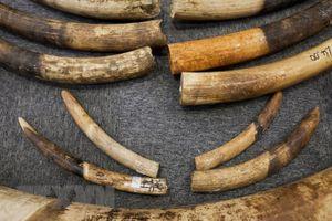 Truy tố đối tượng chế tác ngà voi châu Phi với số lượng lớn