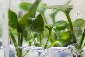 Cây biến đổi gene có thể làm sạch không khí ô nhiễm