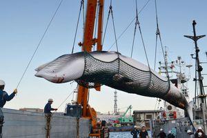 Nghề săn cá voi Nhật trước nguy cơ biến mất và cả chỉ trích quốc tế