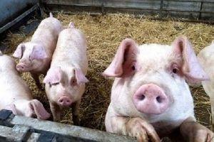 Giá heo (lợn) hơi hôm nay 1/1: Giảm mạnh trong ngày đầu năm mới