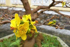 Hoa mai đua nhau nở sớm, người làm vườn xứ Huế lo thất thu dịp Tết