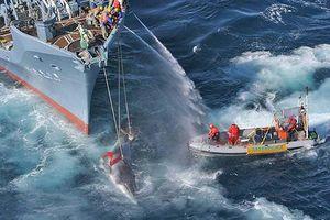 Thế giới lo ngại tái diễn cảnh cá voi bị tàn sát trên đại dương