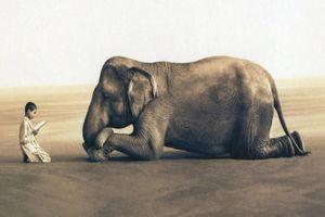 Câu chuyện về chú voi đi bộ hơn 300 cây số trong suốt 10 ngày