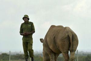 Con tê giác trắng Bắc Phi đực cuối cùng đã chết: Tiếng kêu cứu từ châu Phi hoang dã