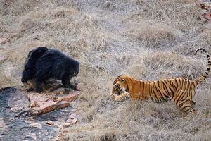 CLIP HOT (3/1): Gấu mẹ chiến đấu với hổ để bảo vệ con, vẻ đẹp mỹ miều của 'thiên thần Instagram'