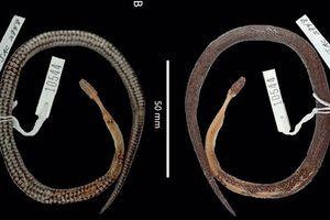 Phát hiện loài rắn mới…trong bụng một loài rắn khác