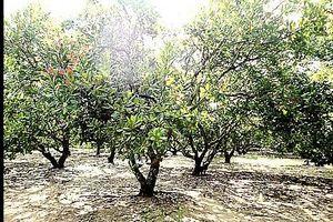 Mưa nắng thất thường, nông dân 'phấp phỏng' lo mất mùa điều