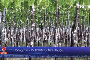 Mưa bão gây ngập úng nhiều diện tích hoa màu ở Ninh Thuận