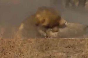 Báo săn siêu tốc độ 'lạc lối' trong lãnh địa sư tử