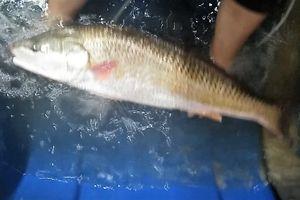 Ngư dân bắt được cá 'lạ' trên đầm, nghi cá sủ vàng quý hiếm