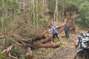 Nhân viên công ty lâm nghiệp thuê người phá rừng