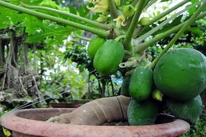 Nhà vườn 'găm' đu đủ bonsai trĩu quả bán chơi Tết