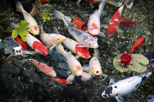 Cá Koi Nhật Bản giá hơn 41 tỷ đồng/con có gì đặc biệt?