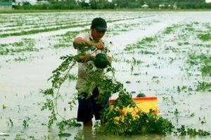 Cà Mau: Hàng chục ha dưa hấu chìm nghỉm, nông dân lo mất Tết