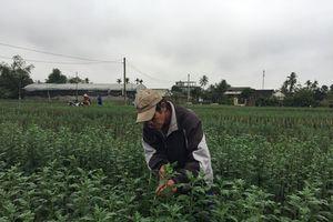 Thừa Thiên Huế: Làng hoa Tiên Nộn, rộn ràng 'chờ' Tết