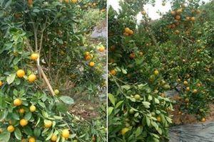 Một gia đình ở Hưng Yên bị kẻ xấu phá hoại hàng loạt cây quất cảnh