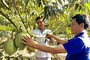 Cảnh báo trồng sầu riêng trên đất lúa ngoài đê bao ở Tiền Giang