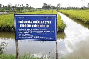 Lúa hữu cơ giá cao ngất ngưởng, thật sự không quá khó trồng