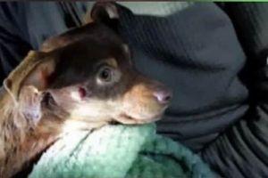 Mỹ: cảnh sát mất việc vì bắn chó chihuahua bị thương