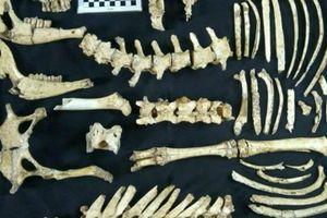 Phát hiện mẫu hóa thạch hươu thời tiền sử tại Argentina