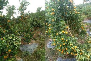 Hưng Yên: Điều tra kẻ gian phá hoại vườn quất cảnh của người dân