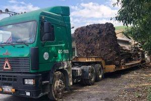 Bắt xe chở cây 'quái thú' đang trên đường vận chuyển ra miền Bắc