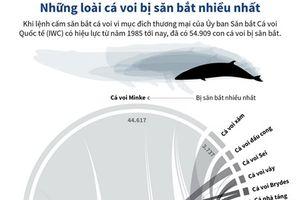 Những loài cá voi bị săn bắt nhiều nhất thế giới
