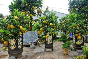 Bưởi bonsai cỡ nhỏ giá tiền triệu được nhiều người ưa chuộng dịp Tết