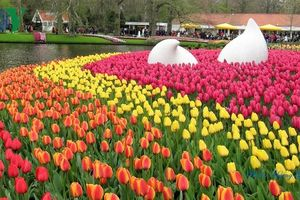 Hoa Tulip Hà Lan khoe sắc rực rỡ khi xuân về