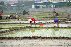 Nhiều nông dân ở Nghệ An 'phá lịch' cấy sớm