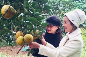 Khu vườn gần 100 cây bưởi và sai trĩu quả đúng dịp Tết của diễn viên Chiều Xuân