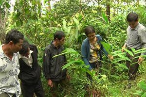 Mô hình trồng sa nhân tím dưới tán rừng
