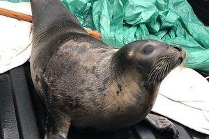 Lo ngại hơn 40 con hải cẩu chết đói vì mắc kẹt tại một thị trấn ở Canada