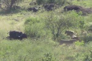 CLIP: Trâu rừng một mình đuổi đánh bầy sư tử cứu đồng loại