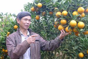 Sắc vàng từ trang trại cam ở Chiềng Ban