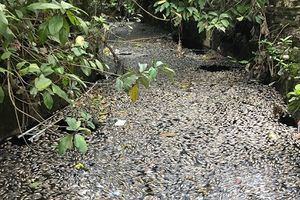 Nghệ An: Cá lại chết hàng loạt chưa rõ nguyên nhân ở kênh Hào Thành Cổ Vinh