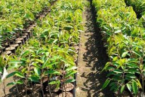 Bình Phước khuyến cáo không trồng giống sầu riêng Musang King