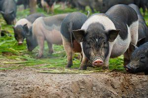 Clip: Nuôi 500 con lợn hương sạch bán Tết thu tiền tỷ