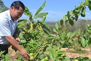 Tin NN Tây Nguyên: Người dân thu tiền tỷ từ cải tạo vườn tạp
