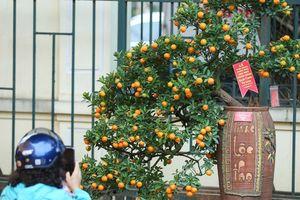Quất Kim Long Bạch Mã định giá 100 triệu chủ nhân không bán