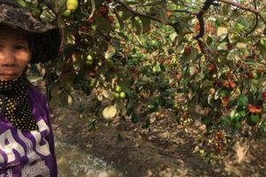 Táo vàng rụng đầy vườn, nông dân đón Tết mất vui