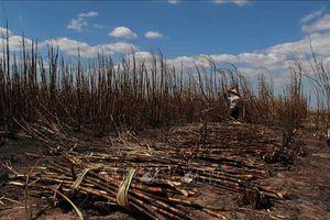 Cháy rụi hơn 100 ha mía đang cho thu hoạch tại Ea Súp