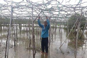 Ninh Thuận: Nhiều vườn nho ngập úng vì nâng cấp kênh