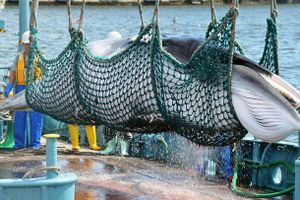 Nhật Bản phản bác New York Times về việc đánh bắt cá voi